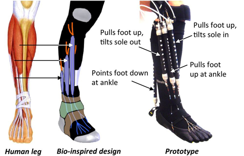 Press Release Bio Inspired Robotic Device Could Aid Ankle
