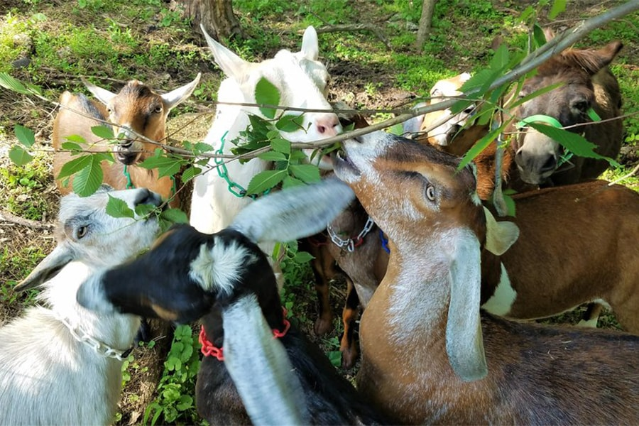 Photo of goats from Allegheny Goatscape